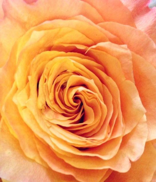 Freespirt Rose