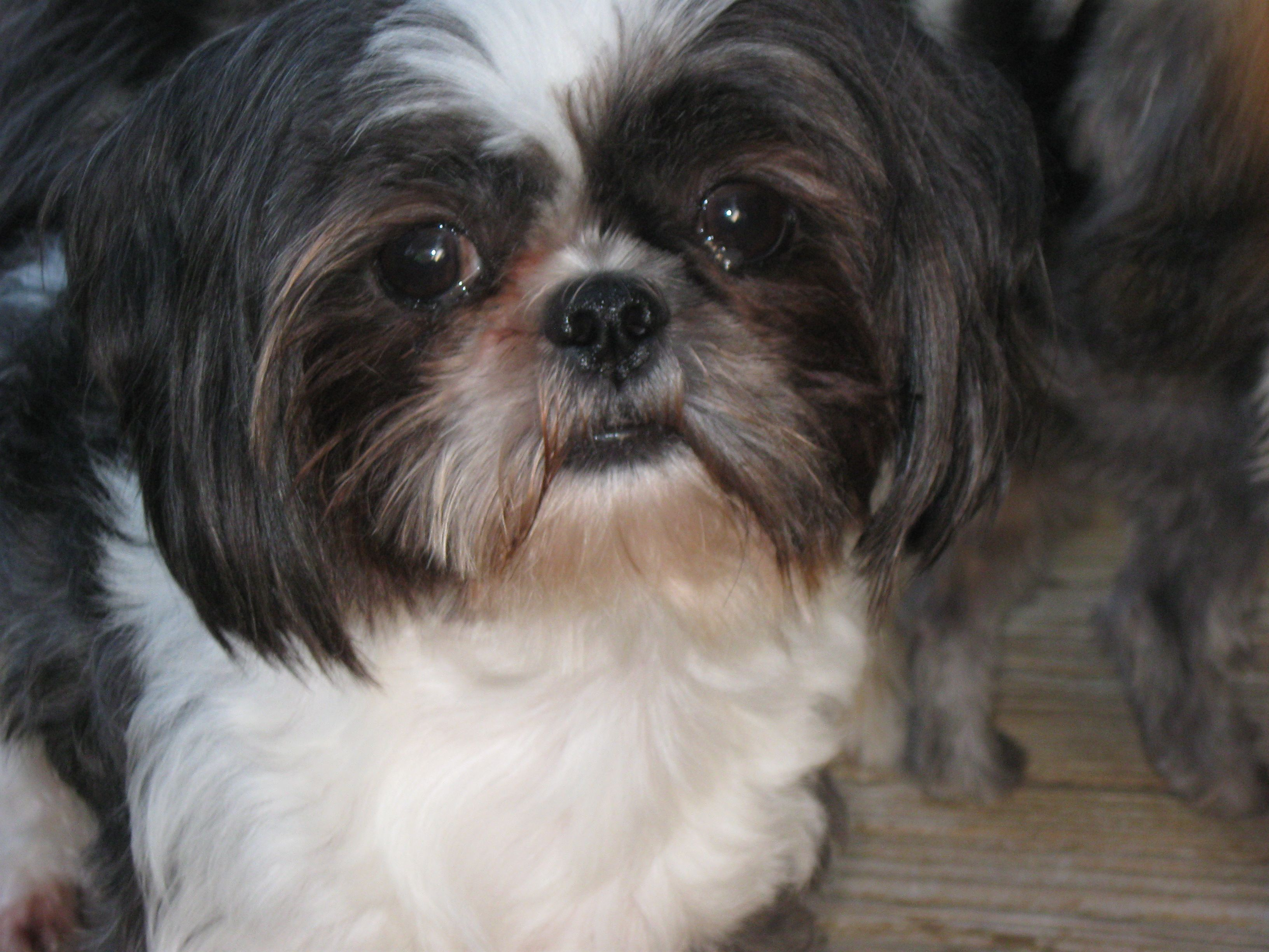 Dogs Shih Tzu Pictures Diesel Is Very Healthy And Has Had No