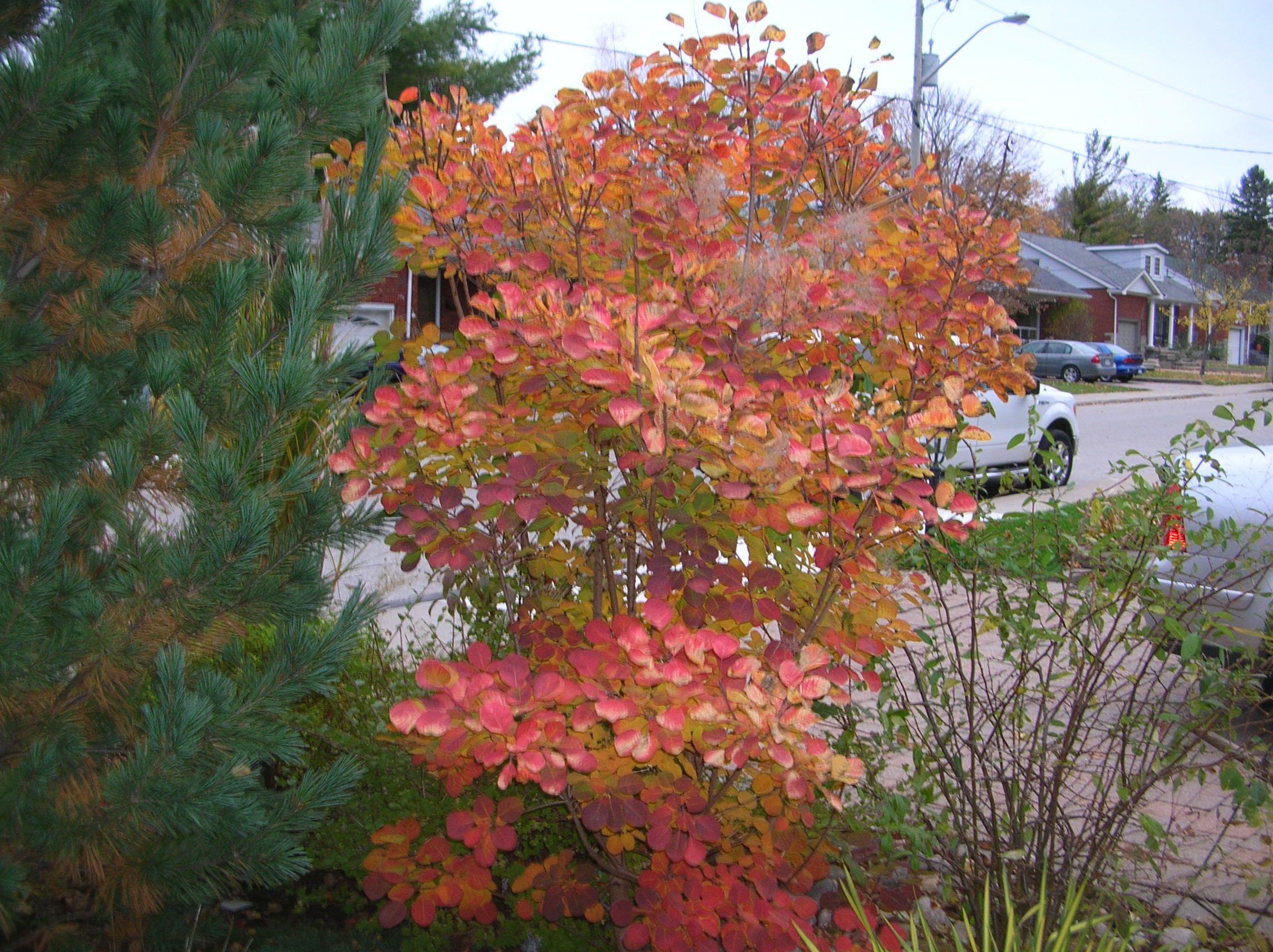 Golden Spirit Smokebush | Garden Inspiration | Pinterest | Smokebush ...