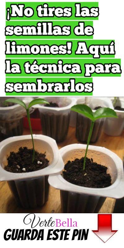 ¡No tires las semillas de limones! Aquí la técnica para sembrarlos #jardineríaenmacetas