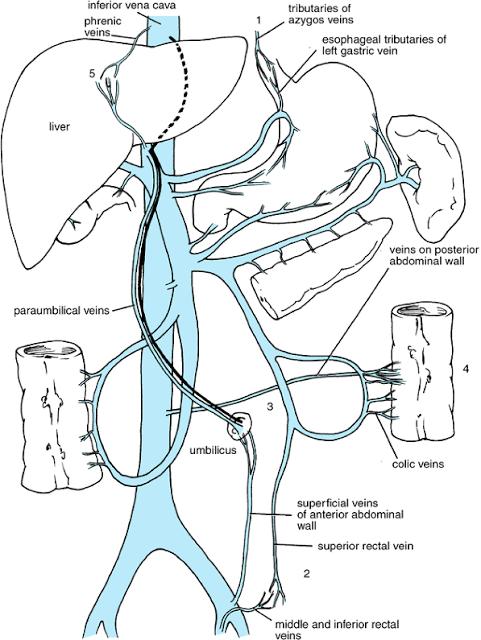 Teaching Anatomy Portal Vein Anatomy Formation Tributaries And