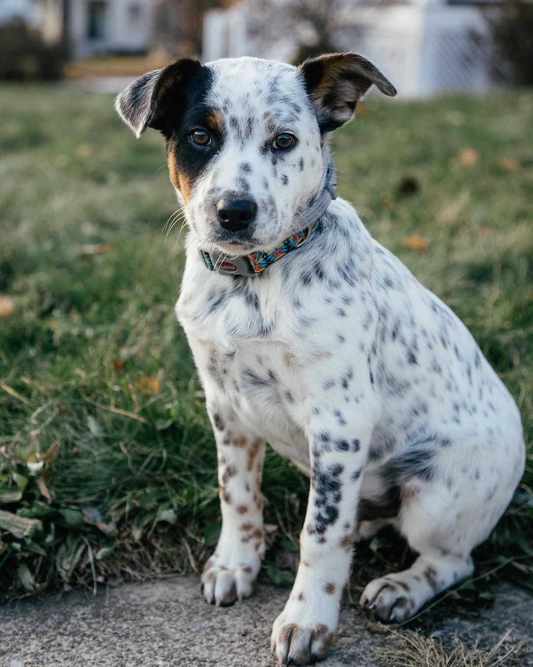 Blue The Texas Heeler (With images) Heeler puppies, Heeler