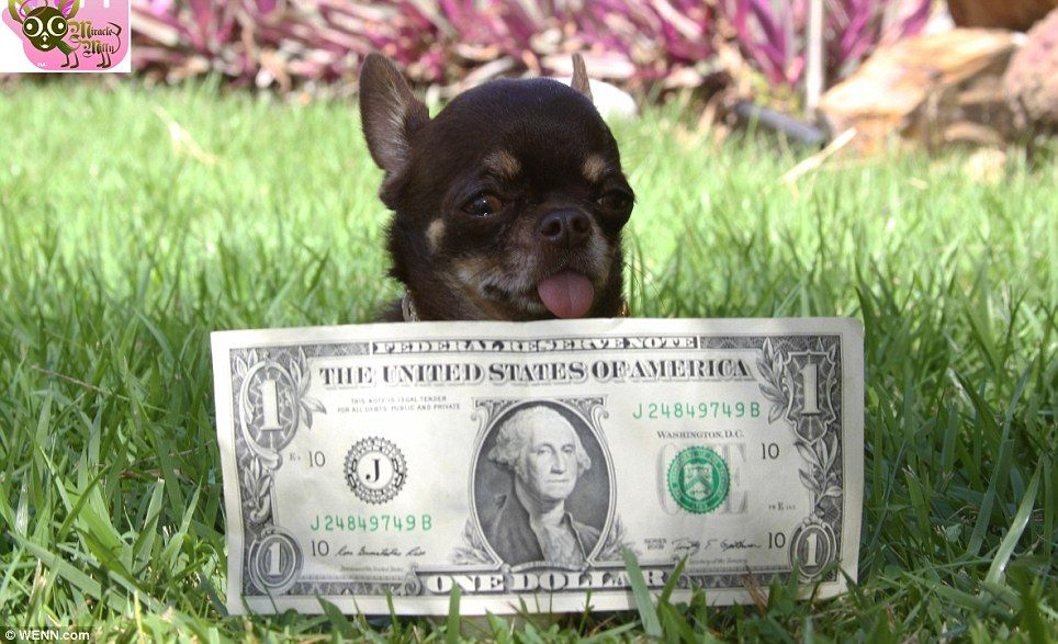 The pup that won't grow up! Tiny Chihuahua Milly is the