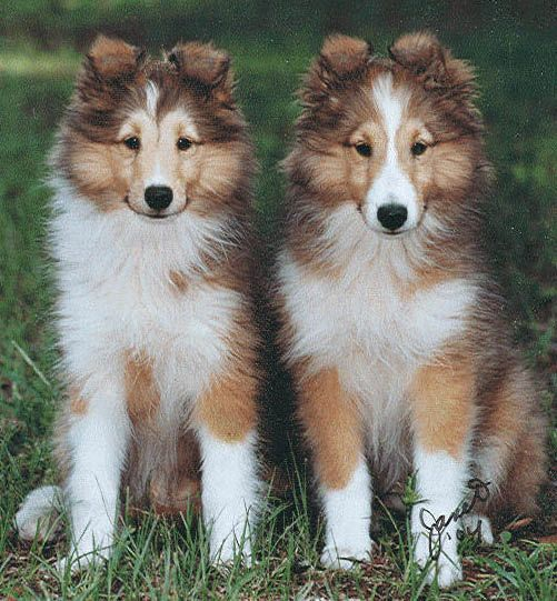 Shetland Sheepdog Energetic And Playful Animals Beautiful