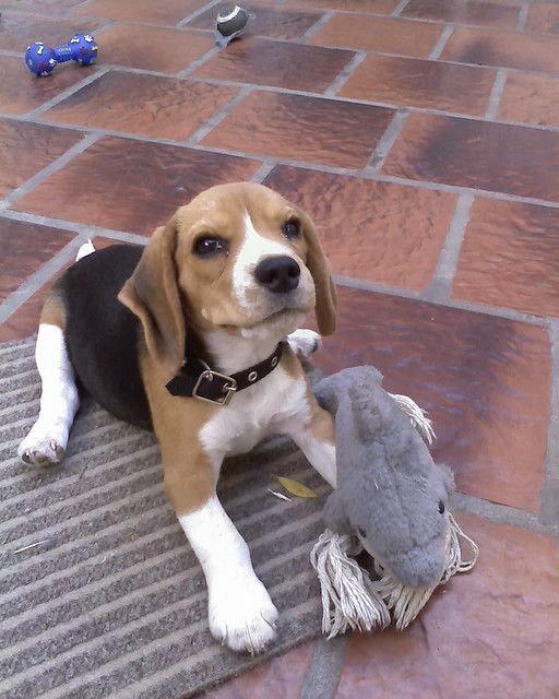 Su Peluche Favorito Beagle Puppy Beagle Dog Training Your Dog