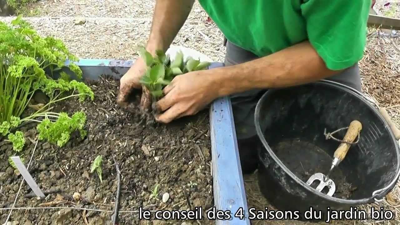 Comment Entretenir Les Fraisiers En Automne avant l'automne, multipliez vos fraisiers. nos conseils en