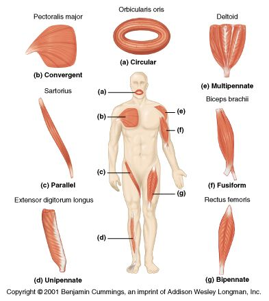 examples of parallel muscles | pennate: many fibers per unit area, Muscles