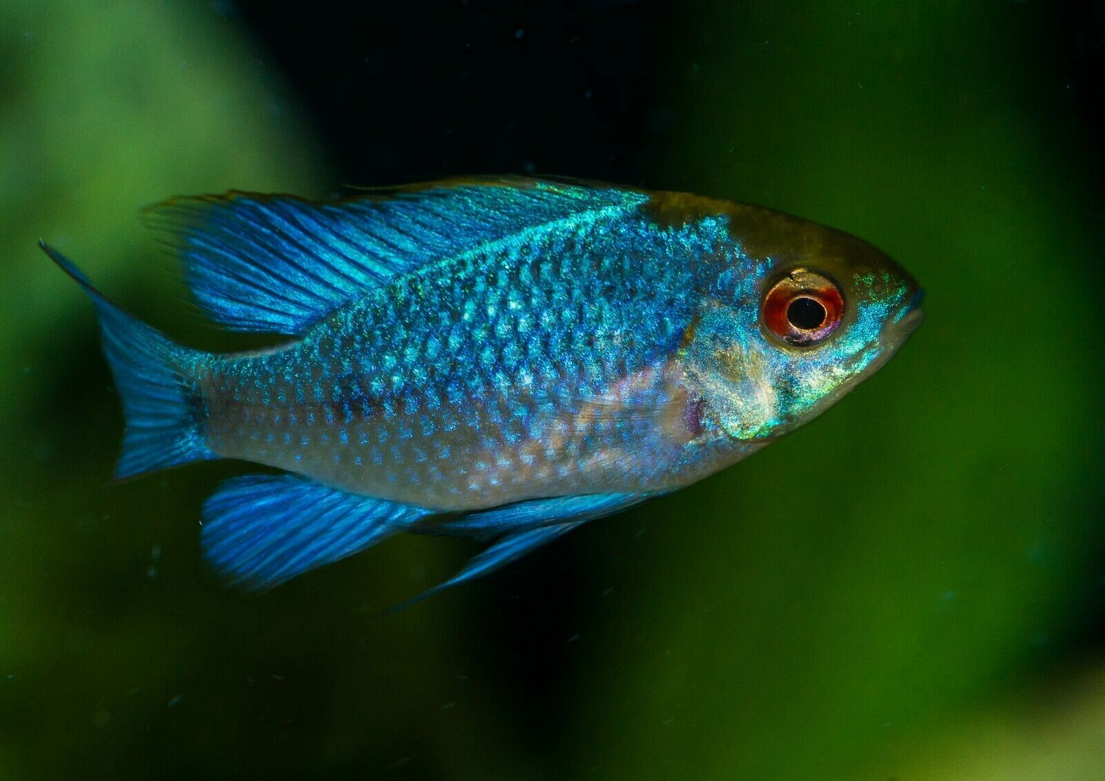 Electric blue ram fish for sale | Unsexed Mikrogeophagus ...