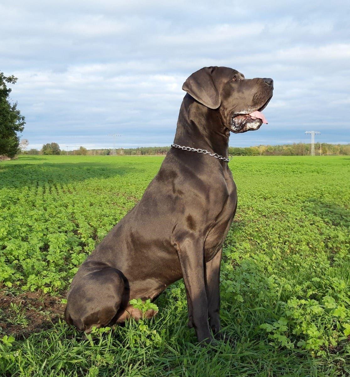 Deutsche Doggen Deckrude Zahna Elster Deutsche Dogge Deckrude Deine Tierwelt De In 2020 Deutsche Doggen Deutsche Dogge Gesunde Hunde