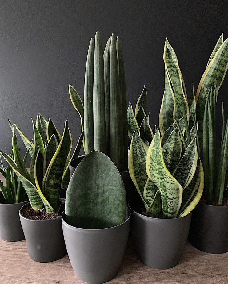Everything You Need to Know About the Snake Plant is part of Plants, House plants decor, Hanging plants, Plant decor, House plants, Snake plant - Many succulents are short and squat because they've adapted to grow in arid climates, but not the snake plant! It's