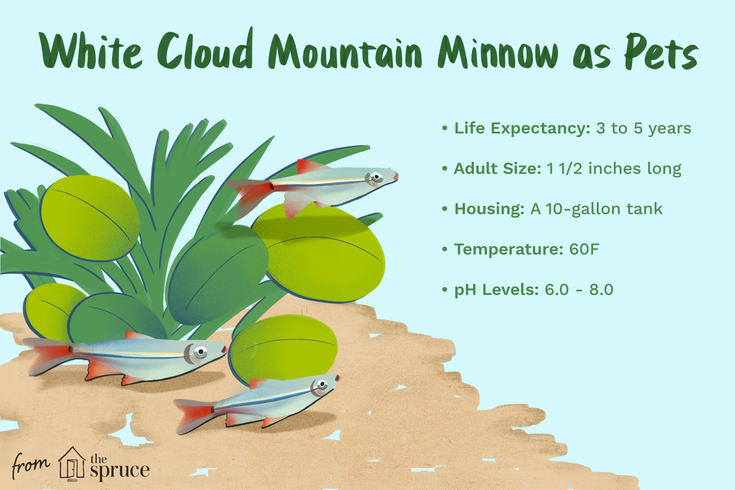 All About The White Cloud Mountain Minnow White Cloud Minnow Clouds White Cloud