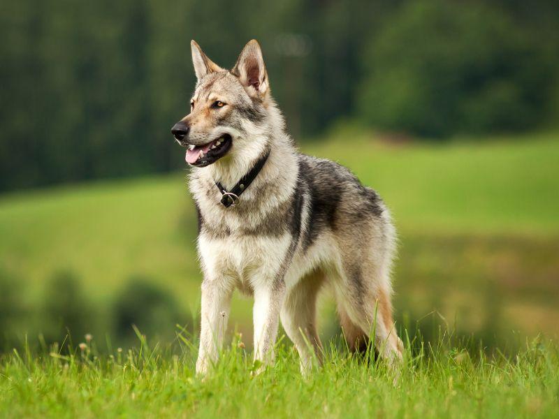 Tschechoslowakischer Wolfshund TWH kaufen Wolf hunde