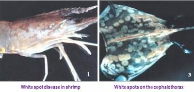 Bacterial disease of Shrimp