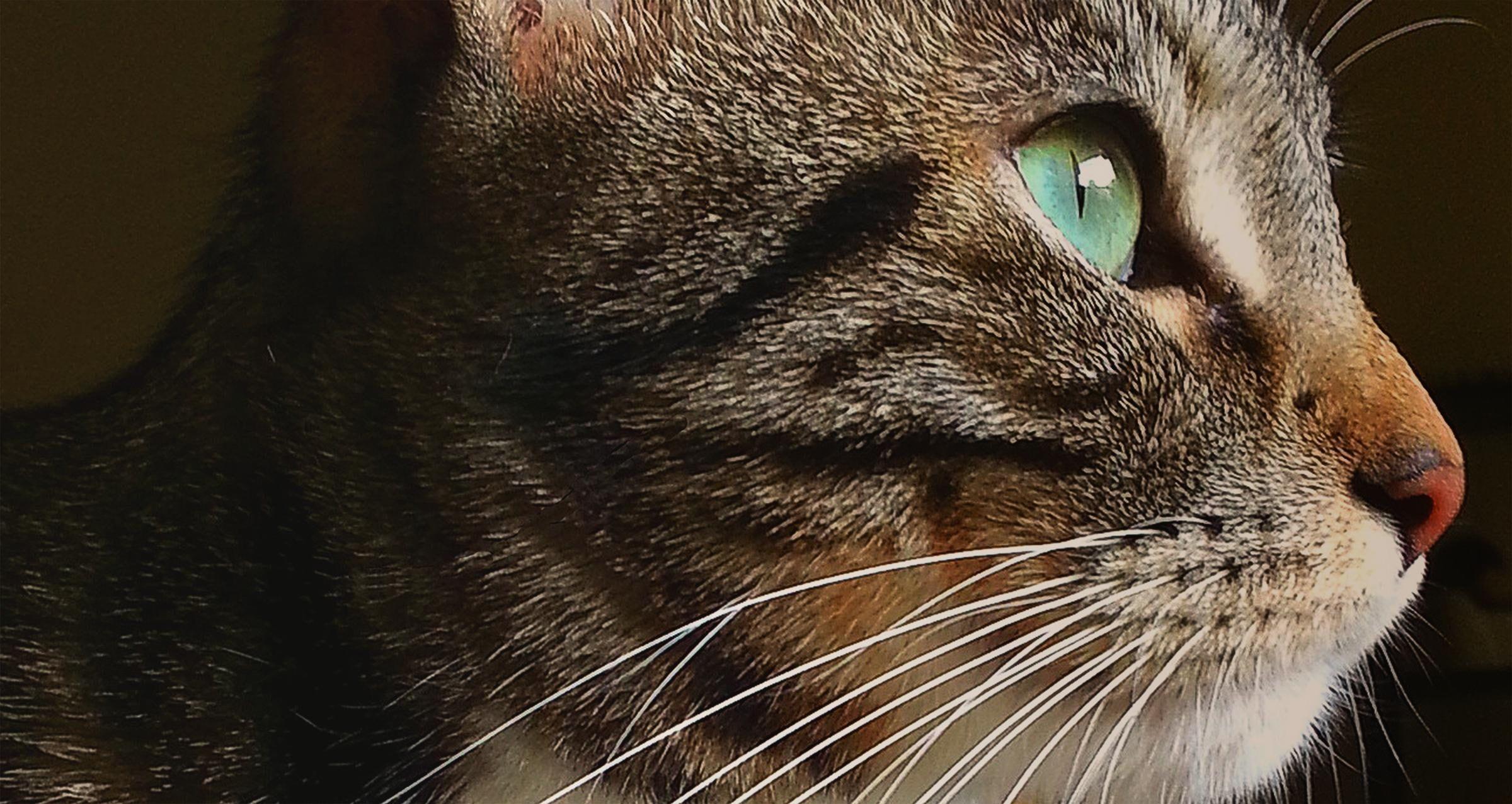 Whitney american brown cream green tabby cat eye