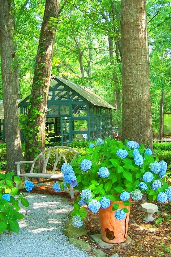 woodland garden with gravel path, greenhouse and blue hydrangeas ...
