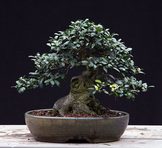 Ilex Shohin Zif Zag 11 26 09 Bonsai Forest Bonsai Tree Bonsai Garden