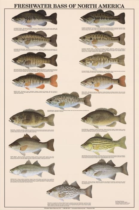 Freshwater bass of north america identification chart for Alabama freshwater fish