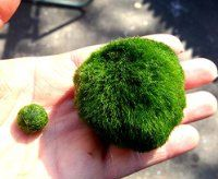 Giant Marimo Moss Ball (Approx 2 inch) X 1 + one small marimo Free!(ship from USA) Live Aquarium Aquatic Plant for Fish/shrimp Tank (USA) for discus betta decor ornament crystal red shrimp cheapest diffuser Co2 fern java Anubias where buy what is how to g