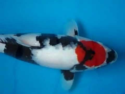 18 tancho showa koi fish koi henkie pinterest showa for Tancho koi fish