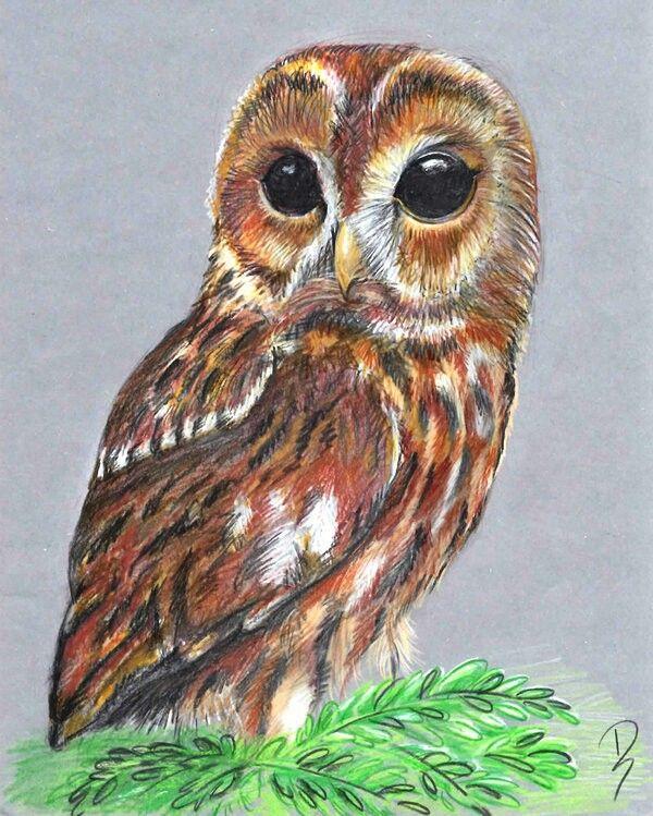 Screech Owl Animal Drawings, Drawings, Color Pencil Art