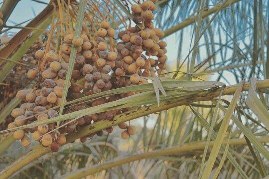ديالى نخيل بلدروز تمر تمور عراق العراق النخل Plants Grapes Fruit