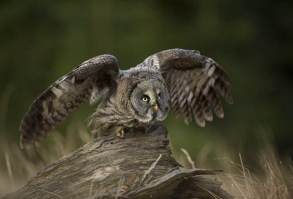 Strix Nebulosa, Great Grey Owl