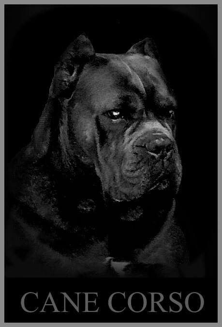 From 'Cane Corso Kingdom'
