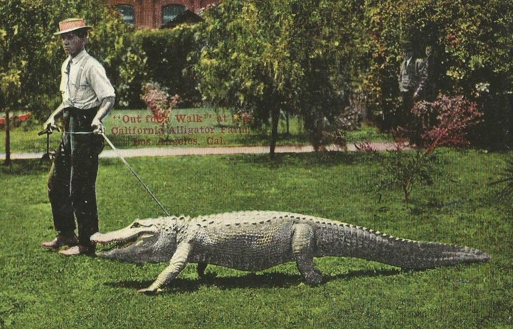 Walking An Alligator Later Gator Bizarre Stories Exotic Pets Pets
