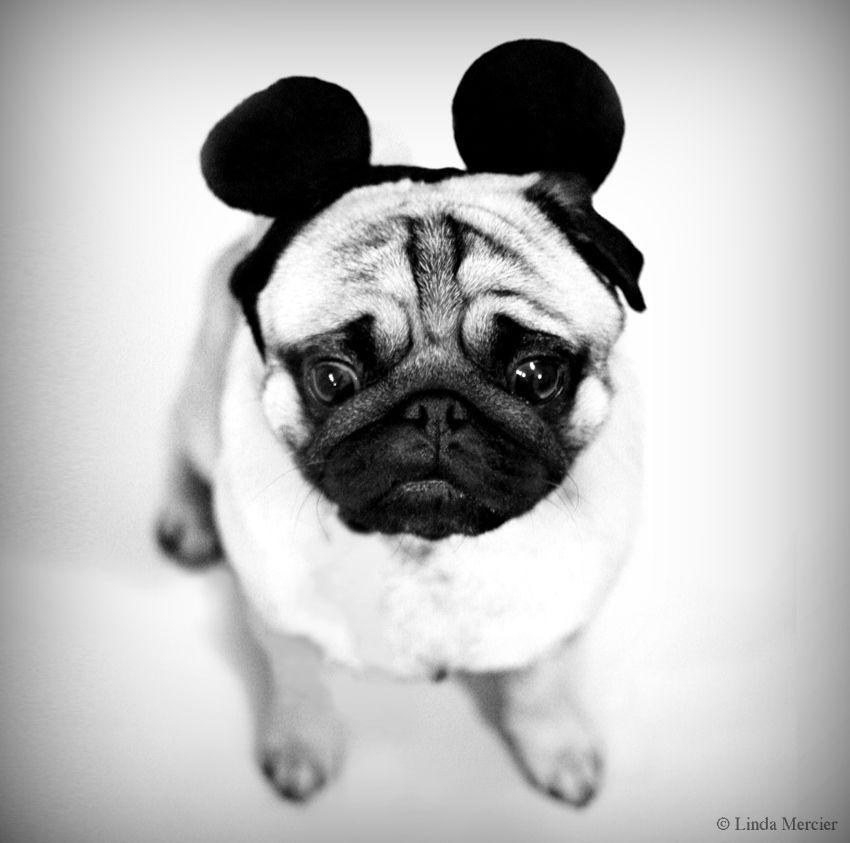 Mickey Mouse Ears Pug Baby Pugs Dog Halloween Pugs