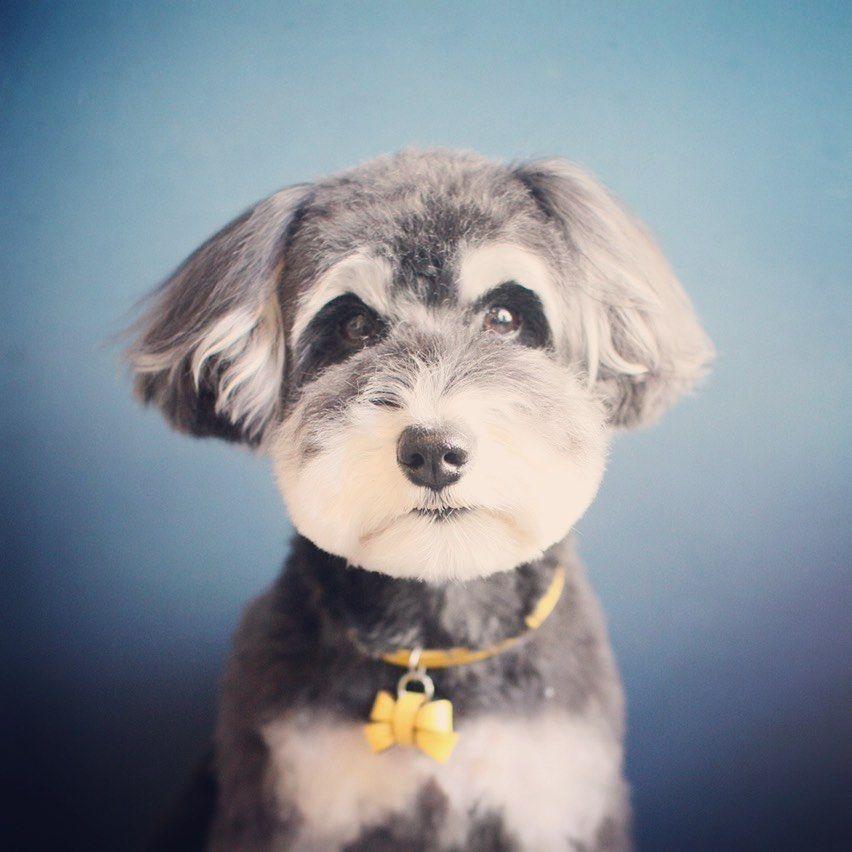 "jiji&toto on Instagram: ""#mmsuha #schnauzer #dog #doglover #dogstagram #シュナウザー #ミニチュアシュナウザー #犬 #動物 #わんこ #わんちゃん #animal #愛犬 #jijitoto #多頭飼い"""