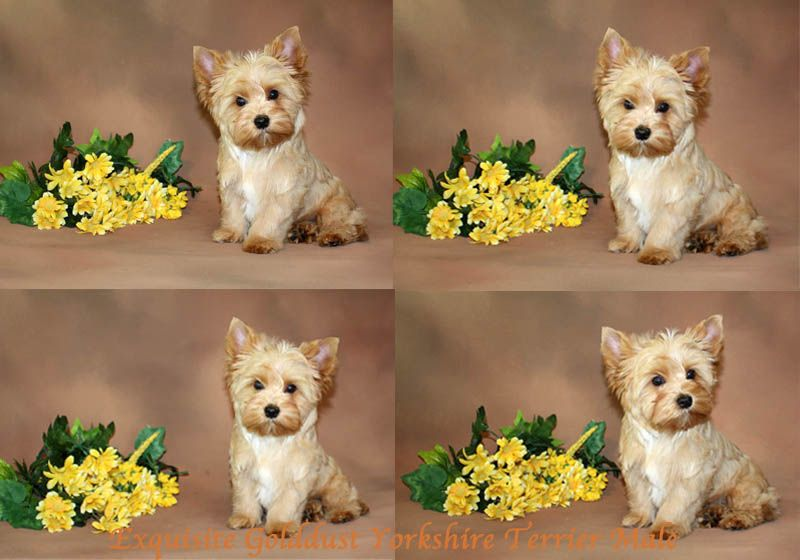 Yorkshire Terrier IMAGE... (With images) Yorkshire