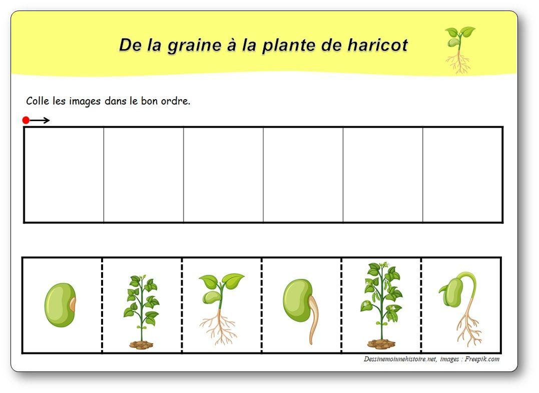 6 images séquentielles : de la graine à la plante de haricot