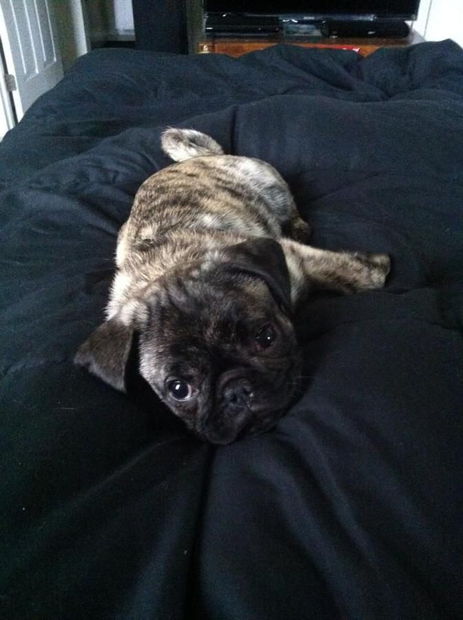 Cincinnati Ohio Www Loveforpugs Com Has Beautiful Brindle Pug Puppies White Pug Puppies Coming 2014 Love For Pugs Brindle Pug White Pug Pug Puppies