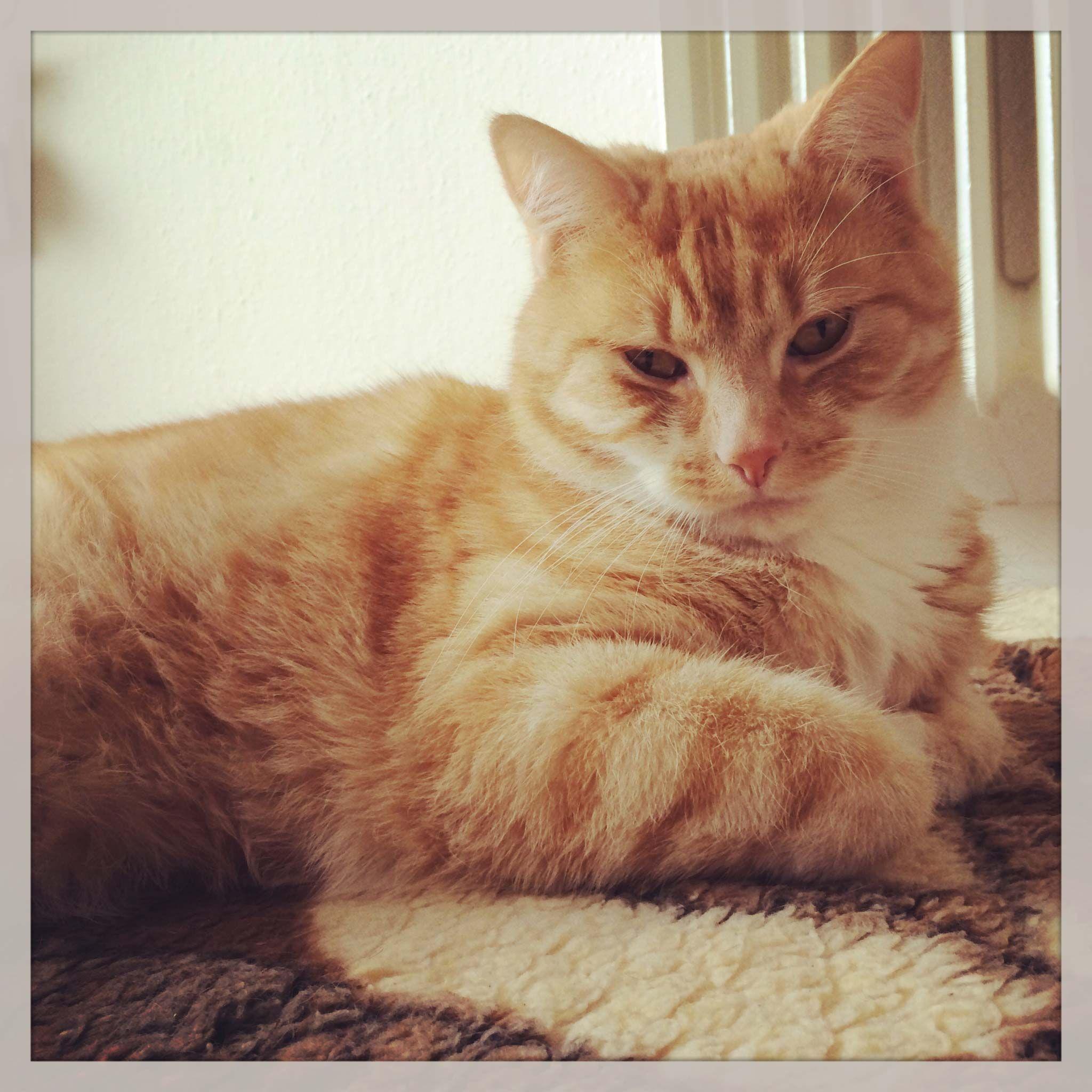 Norwegische Waldkatze Katzenrasse Fur Allergiker Katzen Rassen Katzenrassen Katzen