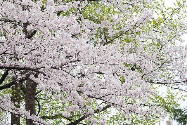 sakura07 by takamizu56 on Flickr.