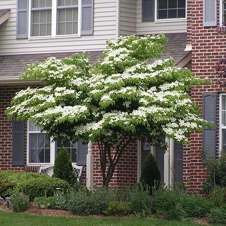 White Kousa Dogwood White Flowering Trees Kousa Dogwood Tree Organic Gardening Tips