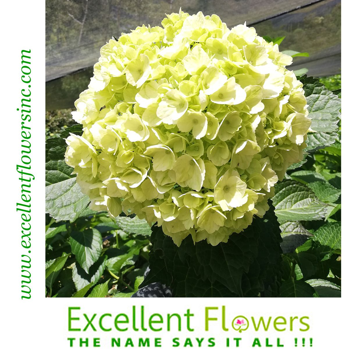 Lime Green Hydrangeas By Excellent Flowers Inc Wonderful Hydrangeas Imported And Distributed For Our Beloved Custo Flowers Direct Green Hydrangea Flowers