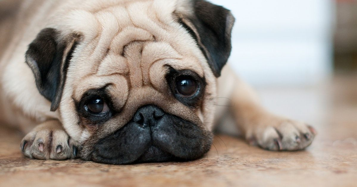 8 Dog Breeds That Are Just As Sleepy As You Pugs Dog Breeds Dogs