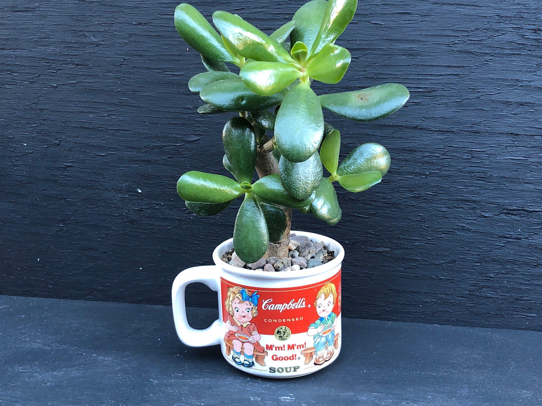 Cactus & Succulent Plants Crassula ovuta Money Plant Fit 4