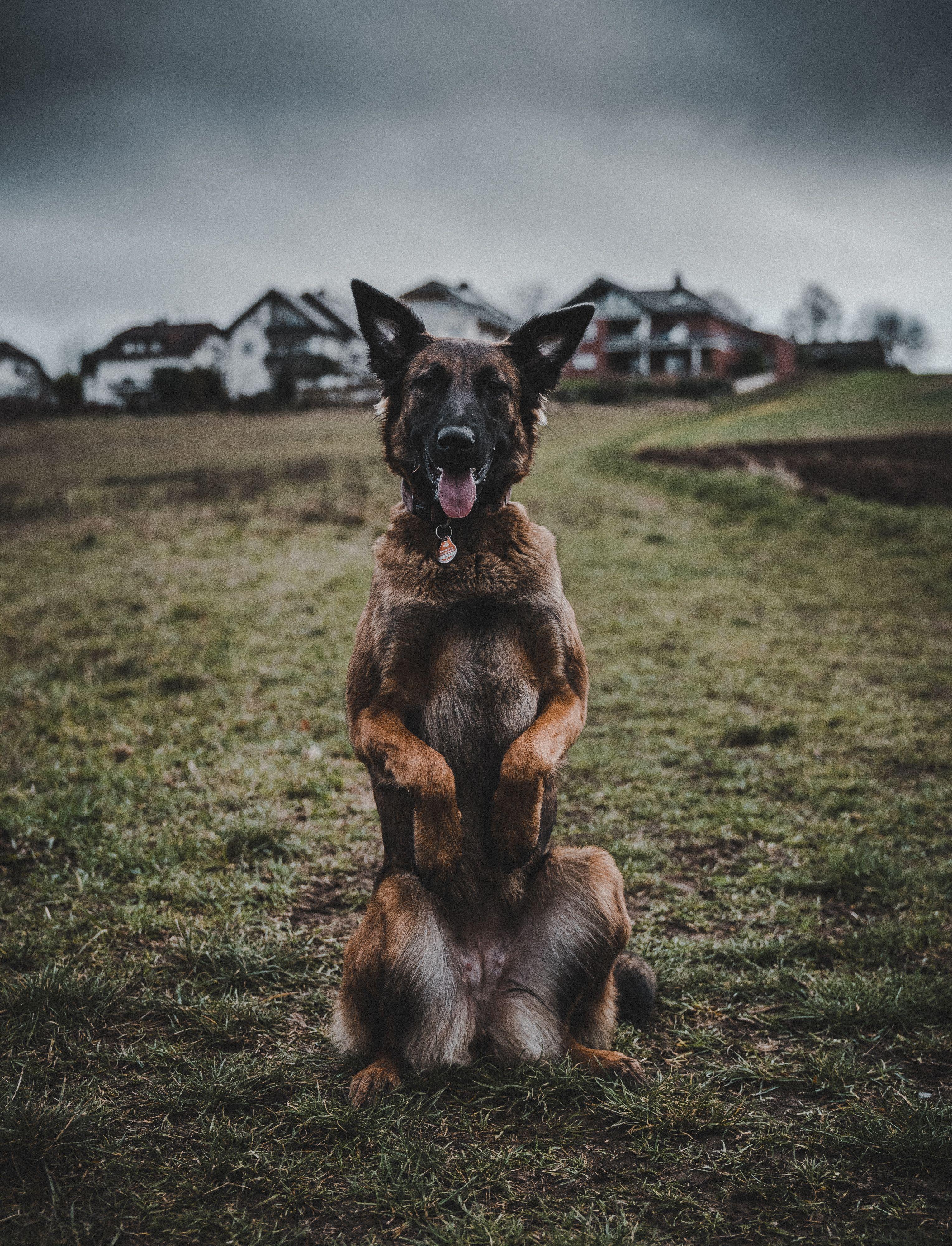 Belgian Malinois Hunde Belgischer Malinois Belgischer Schaferhund