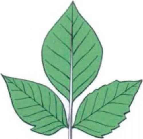 vine with alternating leaves