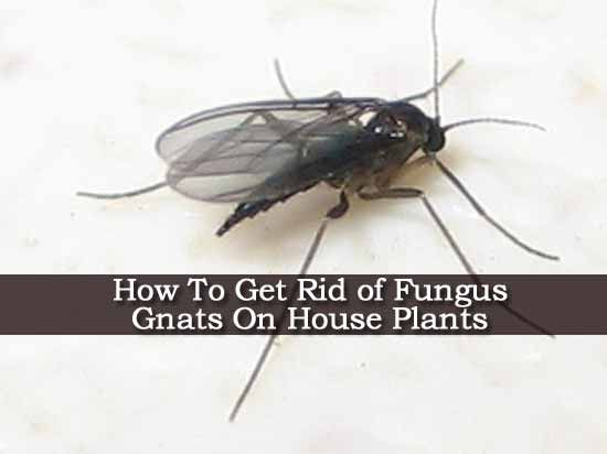 How To Get Rid Of Fungus Gnats In House Plants Plantcaretoday