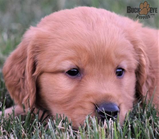Goldenretriever Retriever Golden Sweet Charming Puppiesofpinterest Pinterestpuppies Buckeyepuppies Puppie Golden Retriever Puppies And Kitties Puppies