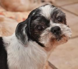 Adopt Almond Harris On Cute Animal Photos Dog Adoption Shih Tzu