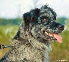 Las Rocosa Australian Shepherds Australian Shepherd Dogs