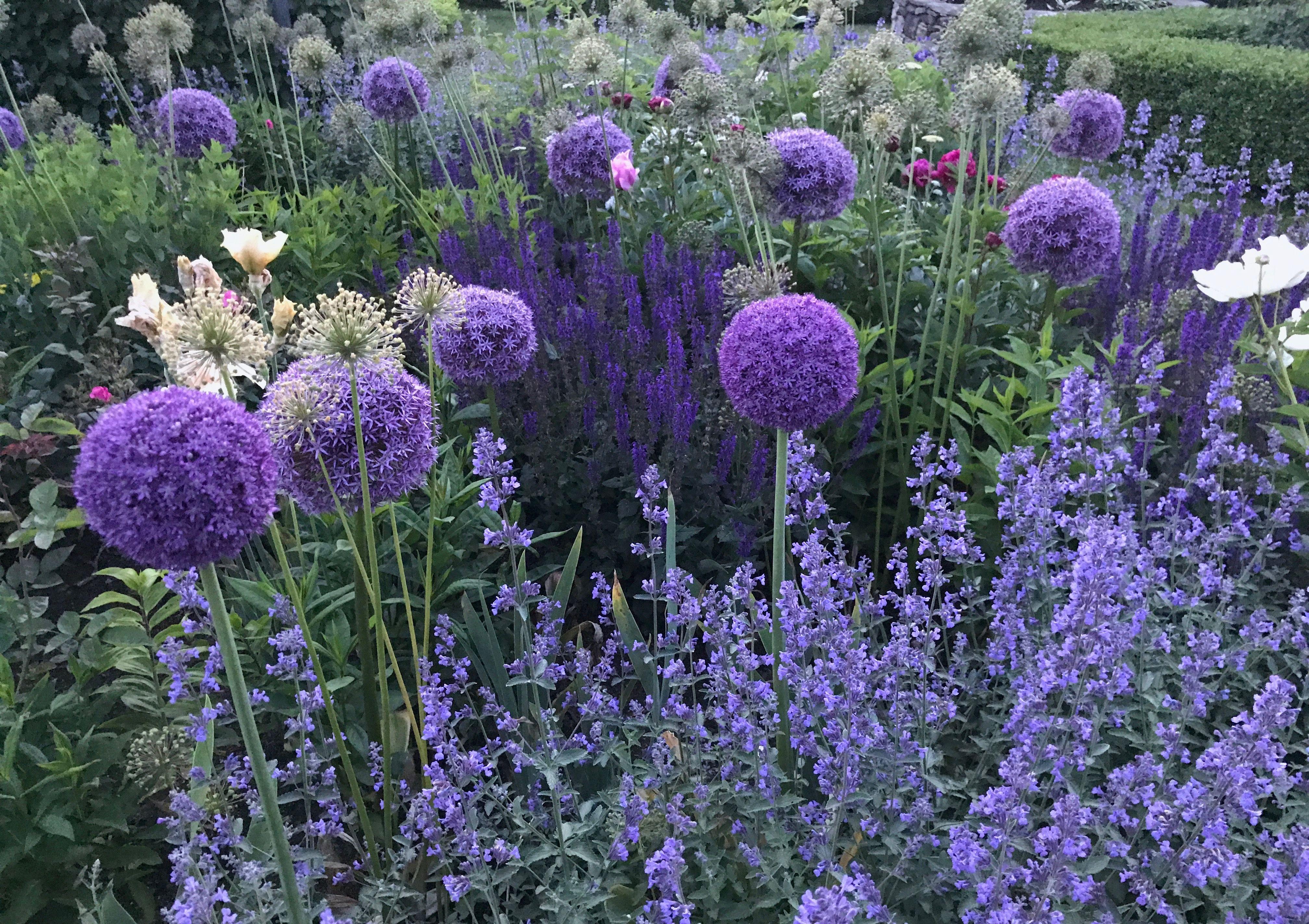 allium, nepeta, salvia in Carolyne Roehm's garden...