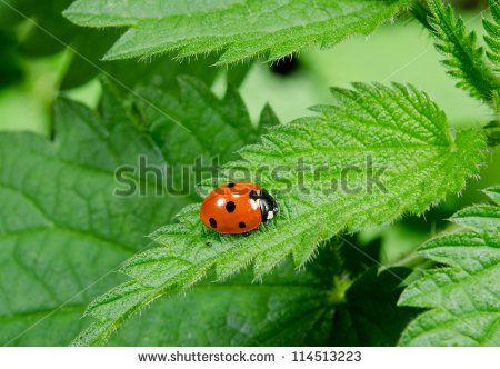 Ladybird Fotos, imágenes y retratos en stock | Shutterstock