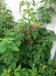 How to prune raspberry plants | Edible garden, Garden ...