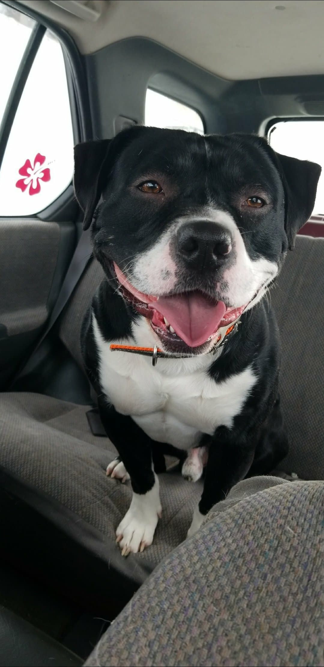 American Pit Bull Terrier Dog For Adoption In Detroit Lakes Mn