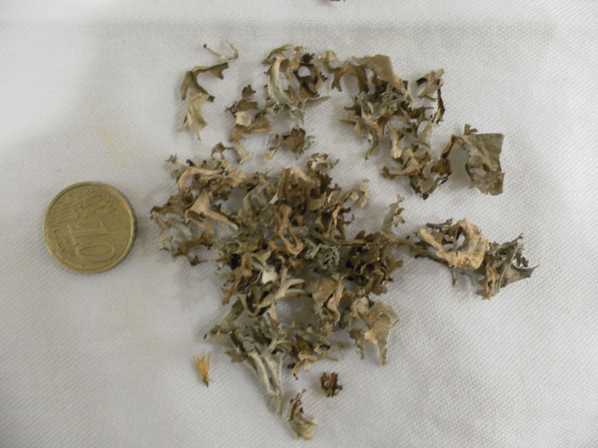 Lichen d'Islande, Cetraria islandica, PARMELIACEES, plante entière, immunostimulan, antibiotique ...